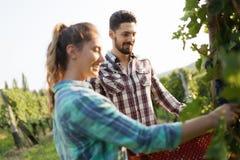 Люди жать виноградины на винограднике winegrower Стоковые Фотографии RF
