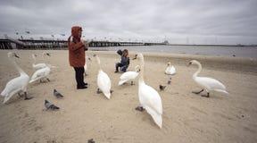 Люди и лебеди в Sopot на пляже стоковое фото rf