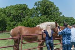 Люди касаясь и кормить лошади засухи Голландии на ферме стоковая фотография rf