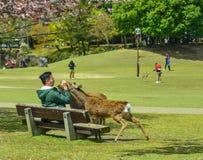 Люди кормят священные оленей в парке Nara стоковые фото
