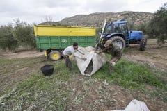 Люди работая на оливковых рощах Стоковые Фотографии RF
