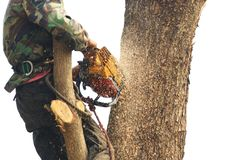 Люди режут вниз с деревьев с двигателем цепной пилы стоковая фотография