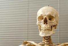 Людские скелет и череп Стоковые Изображения RF