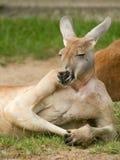 людской смотреть кенгуруа Стоковая Фотография RF