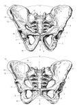 людской pelvis Стоковое фото RF