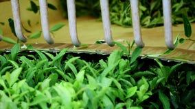 2 люд приниманнсяый за собирая чай в плантации чая Автоматическое собрание чая акции видеоматериалы
