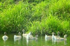 Люк молодых белых гусынь плавая на воде Стоковые Изображения