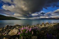 Люпины цветя на береге озера Стоковое Изображение