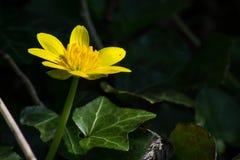 Лютик цветка стоковые изображения rf
