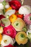ЛЮТИК BULBOSUS, скачет красочный пук цветков, концепция открытки 8-ое марта дня женщин Стоковые Изображения