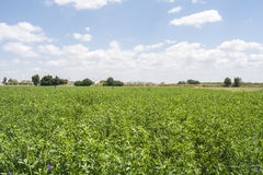 Люцерна sativa в цветени (альфальфа) Стоковые Фото