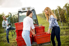 Люди жать виноградины в винограднике в осени Стоковая Фотография RF