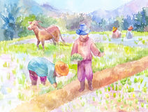 Люди засаживая рис в рисовых полях Стоковые Фото