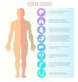 Люди и человеческие органы, мозг, легкие, сердце, живот, печень, почки, колено, соединение и нога Вектор медицинских, здоровья и  Стоковые Фотографии RF