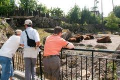 Люди смотря буйвола табунят в зоопарке Стоковые Изображения RF