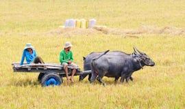 Люди с тележкой буйвола на рисе field в Angiang, Вьетнаме Стоковые Изображения RF