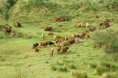 Люди табунят стадо волов (коров) на злаковике Стоковые Фотографии RF