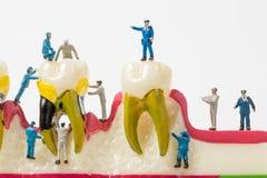 Люди для того чтобы очистить модель зуба на белой предпосылке Стоковые Изображения RF
