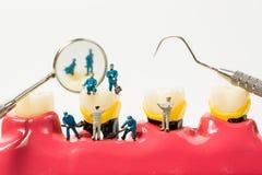Люди для того чтобы очистить модель зуба на белой предпосылке Стоковое фото RF