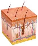 Людская кожа Стоковые Изображения RF