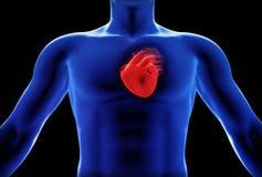 Людская принципиальная схема рентгеновского снимка сердца Стоковое Изображение