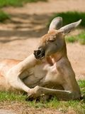 людской смотреть кенгуруа Стоковое фото RF