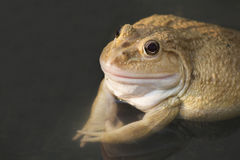 Лягушка альбиноса, также известная как общая лягушка воды, сидит на древесине Съестные лягушки гибриды лягушек бассейна и лягушек Стоковая Фотография