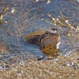 Лягушка близкая вверх на лужице Стоковая Фотография