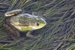 Лягушка болота в пруде вполне засорителей Усаживание Pelophylax зеленой лягушки esculentus в воде Стоковое фото RF