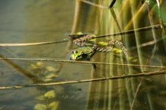 Лягушка болота зеленая Стоковые Изображения RF