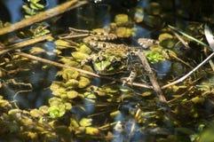 Лягушка болота зеленая Стоковая Фотография RF