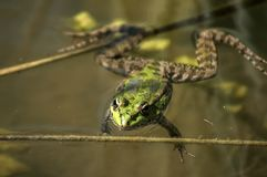 Лягушка болота зеленая Стоковая Фотография