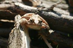 Лягушка Брайна Стоковая Фотография