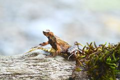 Лягушка Брайна Стоковая Фотография RF