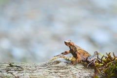 Лягушка Брайна Стоковое Изображение