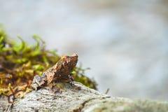 Лягушка Брайна Стоковые Фото