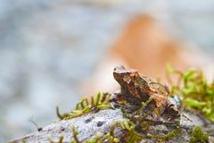 Лягушка Брайна Стоковые Фотографии RF