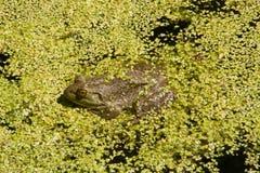 Лягушка-бык в Duckweed Стоковые Фотографии RF
