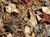 Лягушка-бык закамуфлированный на mulch лист Стоковое фото RF