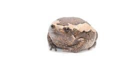 Лягушка-бык на белой предпосылке Стоковая Фотография RF