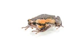 Лягушка-бык Стоковые Изображения