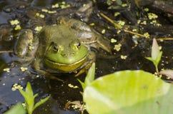 Лягушка-бык Стоковая Фотография RF