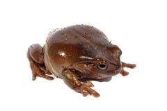 Лягушка вала белизны Dumpy Стоковое Изображение