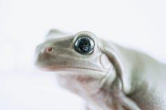 Лягушка вала белизны Стоковые Изображения RF