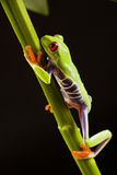 лягушка ветви Стоковая Фотография