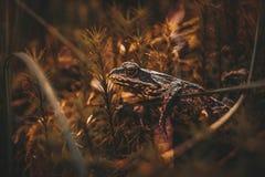 Лягушка вползая на мхе в лесе стоковое фото rf