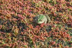 Лягушка в водорослевой шлачке, запачканном аквариумном растени Стоковое Фото