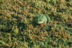 Лягушка в водорослевой шлачке, запачканном аквариумном растени 2 Стоковые Изображения
