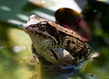 Лягушка в воде Стоковые Изображения RF