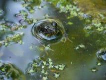 Лягушка в воде Стоковое Изображение RF